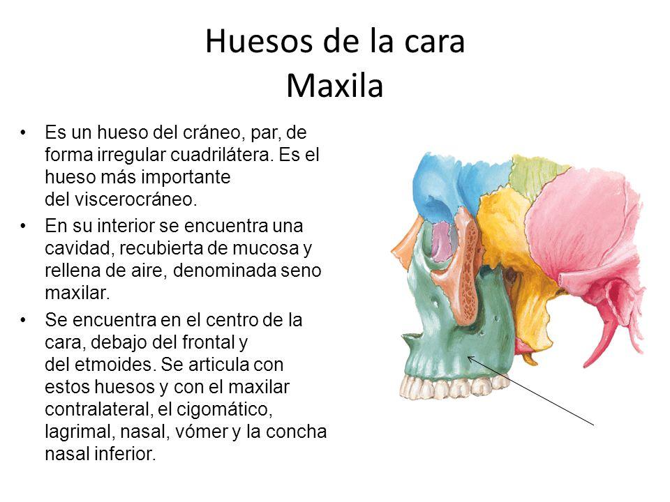 Huesos de la cara Maxila Es un hueso del cráneo, par, de forma irregular cuadrilátera. Es el hueso más importante del viscerocráneo. En su interior se