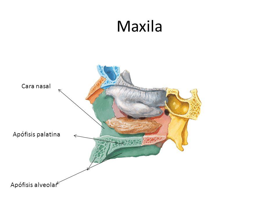 Maxila Cara nasal Apófisis palatina Apófisis alveolar