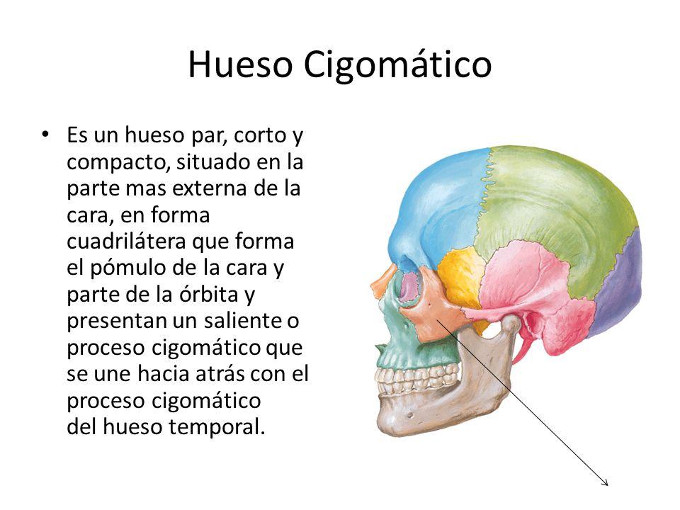 Hueso Cigomático Es un hueso par, corto y compacto, situado en la parte mas externa de la cara, en forma cuadrilátera que forma el pómulo de la cara y