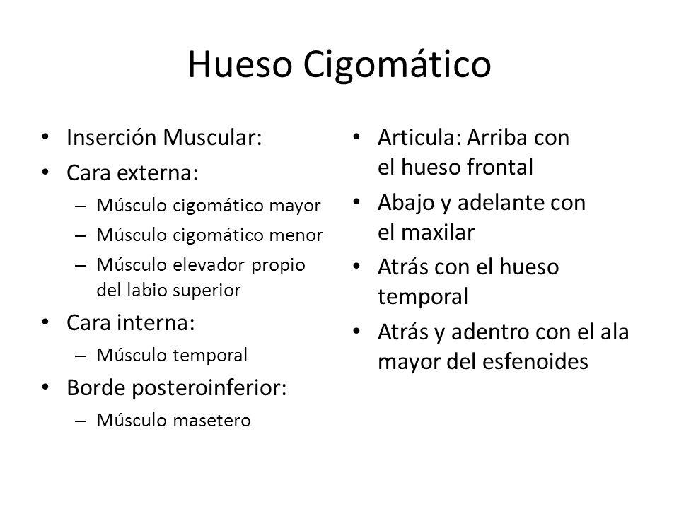 Hueso Cigomático Inserción Muscular: Cara externa: – Músculo cigomático mayor – Músculo cigomático menor – Músculo elevador propio del labio superior