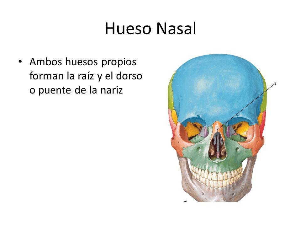 Hueso Nasal Ambos huesos propios forman la raíz y el dorso o puente de la nariz