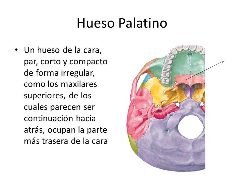 Hueso Palatino Un hueso de la cara, par, corto y compacto de forma irregular, como los maxilares superiores, de los cuales parecen ser continuación ha