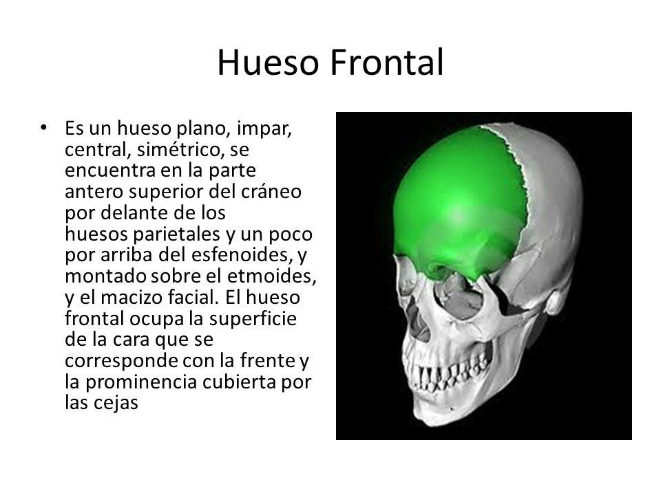 Hueso Frontal Es un hueso plano, impar, central, simétrico, se encuentra en la parte antero superior del cráneo por delante de los huesos parietales y