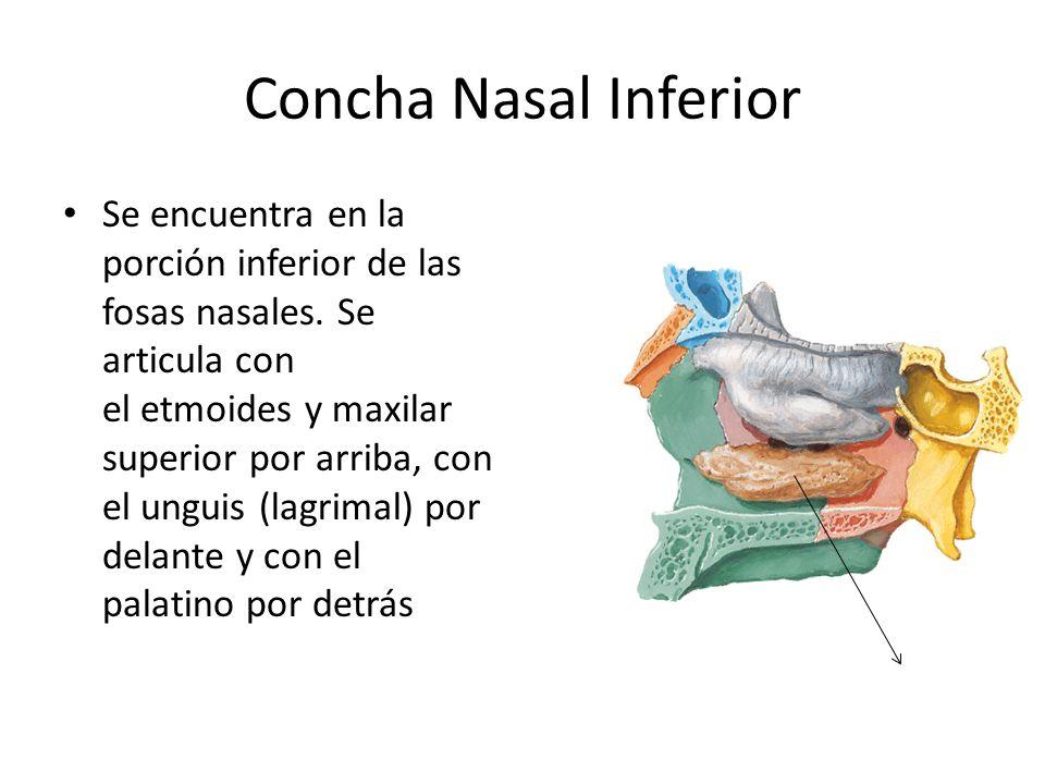 Concha Nasal Inferior Se encuentra en la porción inferior de las fosas nasales. Se articula con el etmoides y maxilar superior por arriba, con el ungu