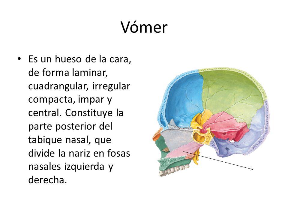 Vómer Es un hueso de la cara, de forma laminar, cuadrangular, irregular compacta, impar y central. Constituye la parte posterior del tabique nasal, qu