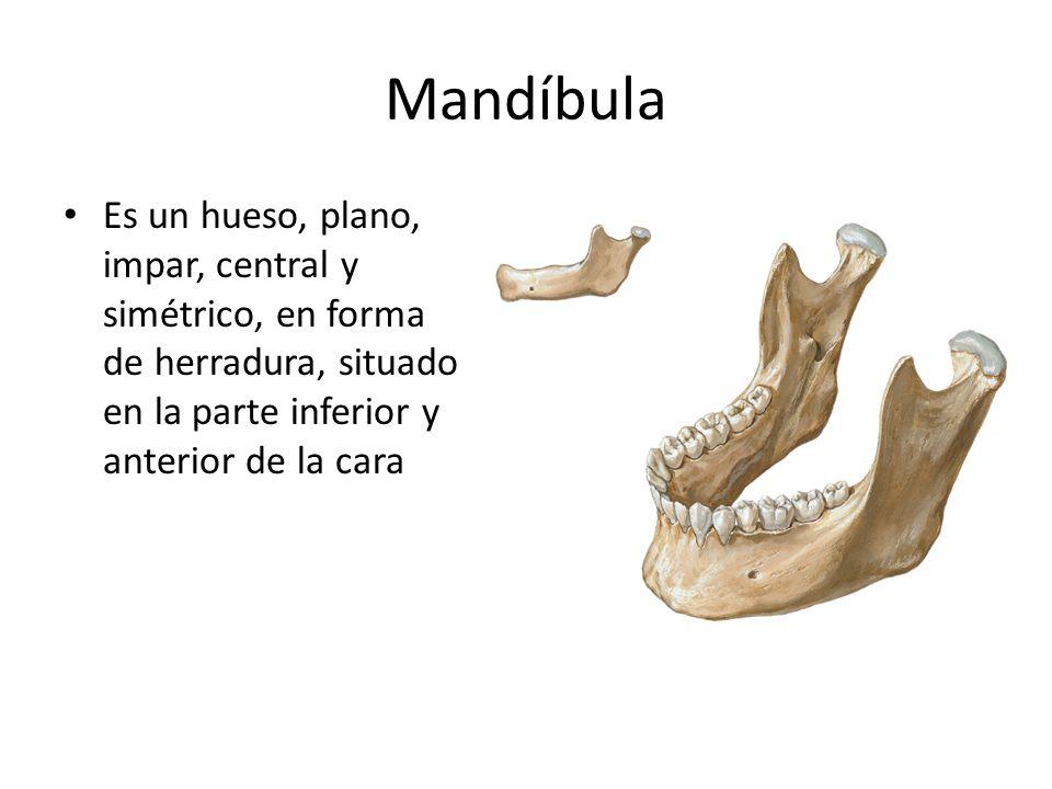 Mandíbula Es un hueso, plano, impar, central y simétrico, en forma de herradura, situado en la parte inferior y anterior de la cara