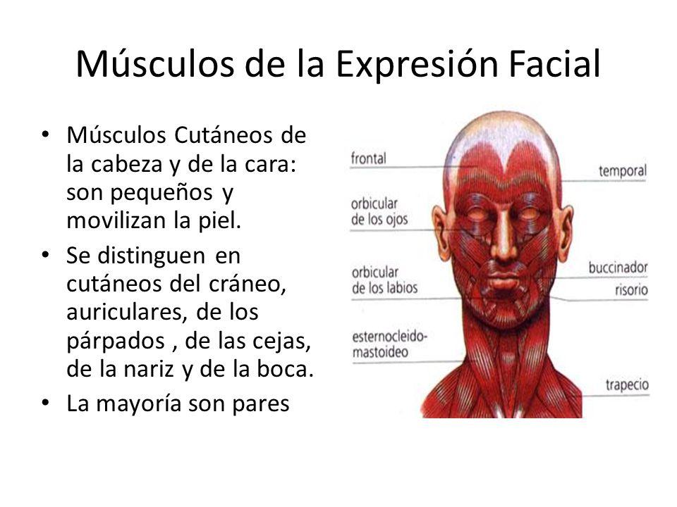 Músculos de la Expresión Facial Músculos Cutáneos de la cabeza y de la cara: son pequeños y movilizan la piel. Se distinguen en cutáneos del cráneo, a