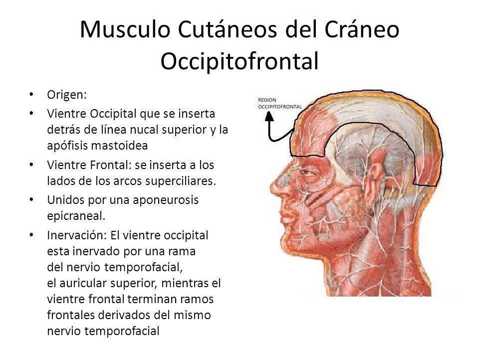 Musculo Cutáneos del Cráneo Occipitofrontal Origen: Vientre Occipital que se inserta detrás de línea nucal superior y la apófisis mastoidea Vientre Fr