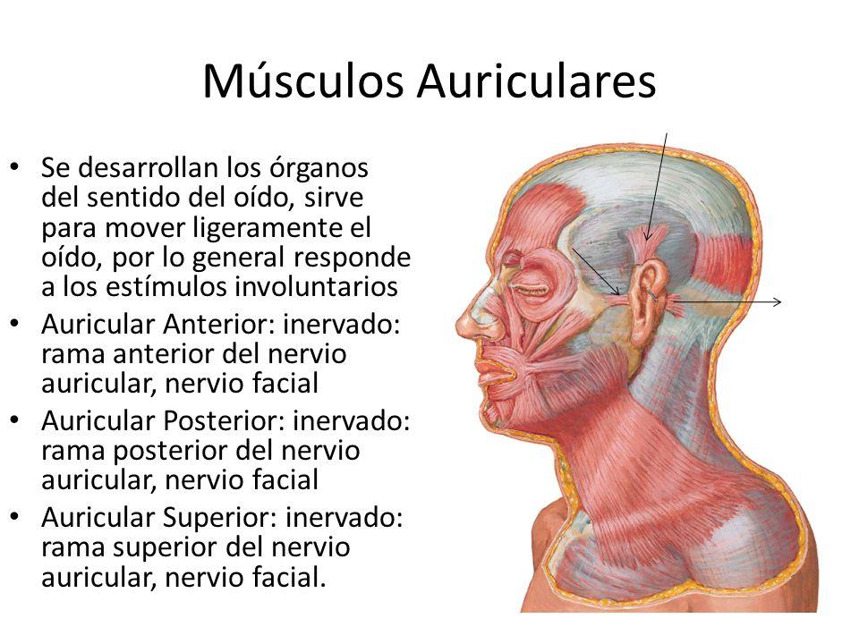 Músculos Auriculares Se desarrollan los órganos del sentido del oído, sirve para mover ligeramente el oído, por lo general responde a los estímulos in