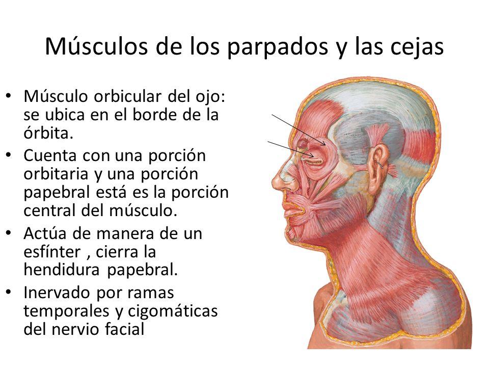Músculos de los parpados y las cejas Músculo orbicular del ojo: se ubica en el borde de la órbita. Cuenta con una porción orbitaria y una porción pape