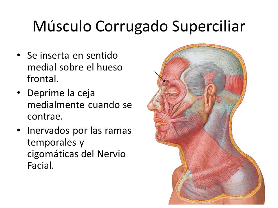 Músculo Corrugado Superciliar Se inserta en sentido medial sobre el hueso frontal. Deprime la ceja medialmente cuando se contrae. Inervados por las ra