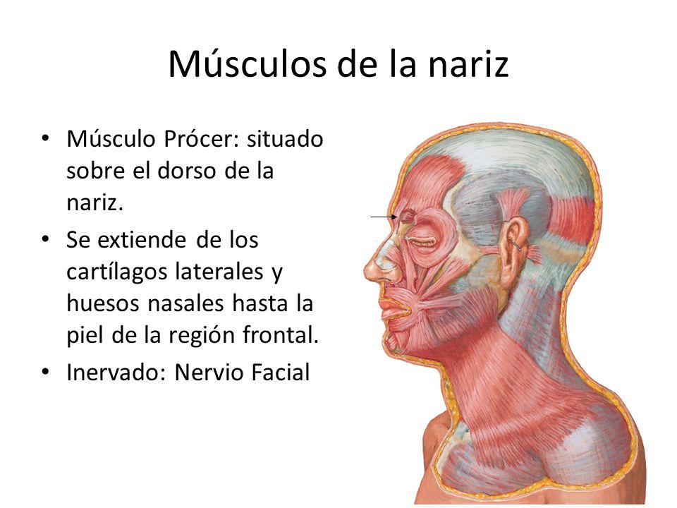 Músculos de la nariz Músculo Prócer: situado sobre el dorso de la nariz. Se extiende de los cartílagos laterales y huesos nasales hasta la piel de la