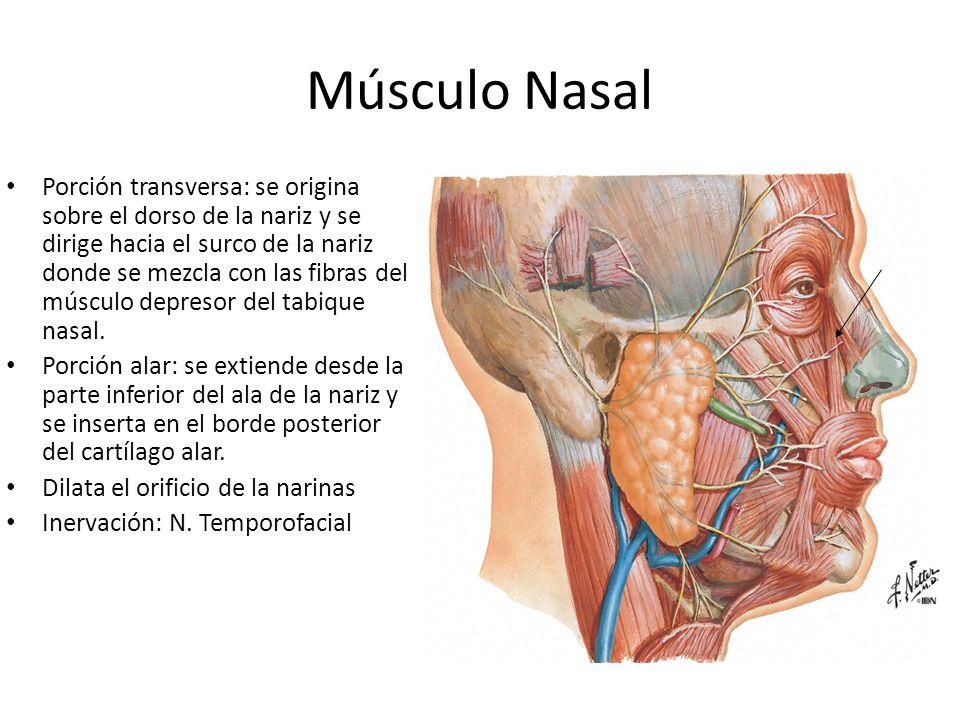 Músculo Nasal Porción transversa: se origina sobre el dorso de la nariz y se dirige hacia el surco de la nariz donde se mezcla con las fibras del músc