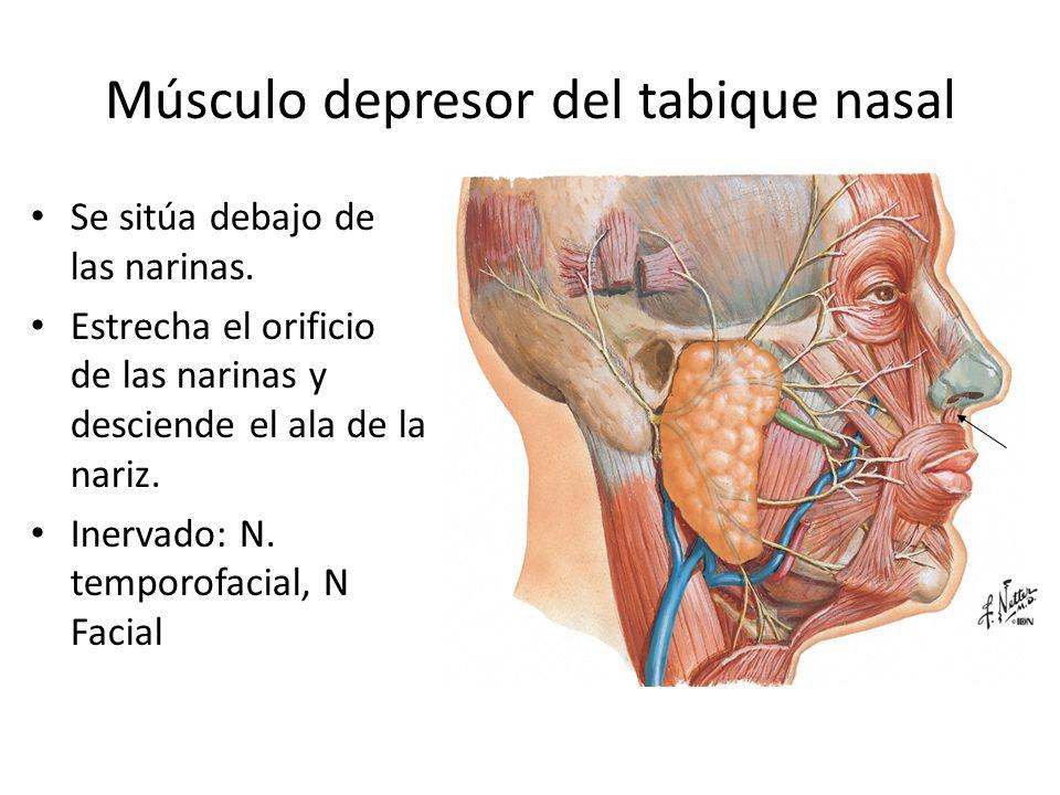 Músculo depresor del tabique nasal Se sitúa debajo de las narinas. Estrecha el orificio de las narinas y desciende el ala de la nariz. Inervado: N. te