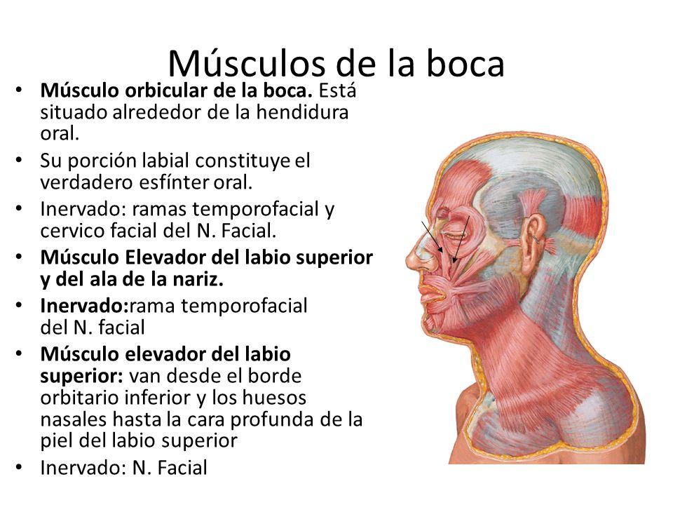 Músculos de la boca Músculo orbicular de la boca. Está situado alrededor de la hendidura oral. Su porción labial constituye el verdadero esfínter oral