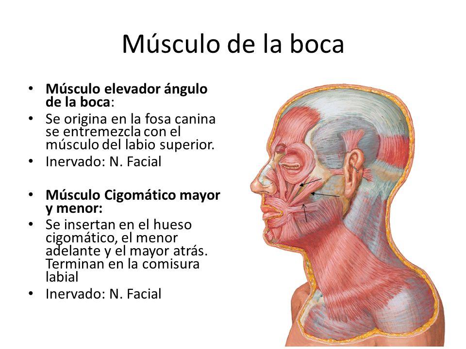 Músculo de la boca Músculo elevador ángulo de la boca: Se origina en la fosa canina se entremezcla con el músculo del labio superior. Inervado: N. Fac