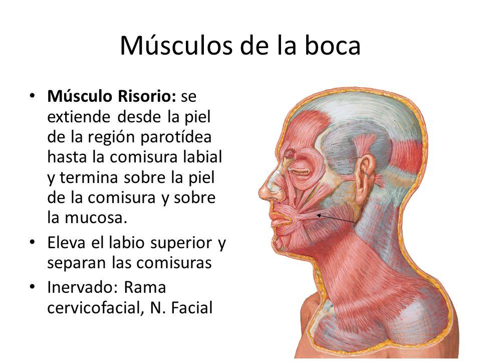Músculos de la boca Músculo Risorio: se extiende desde la piel de la región parotídea hasta la comisura labial y termina sobre la piel de la comisura