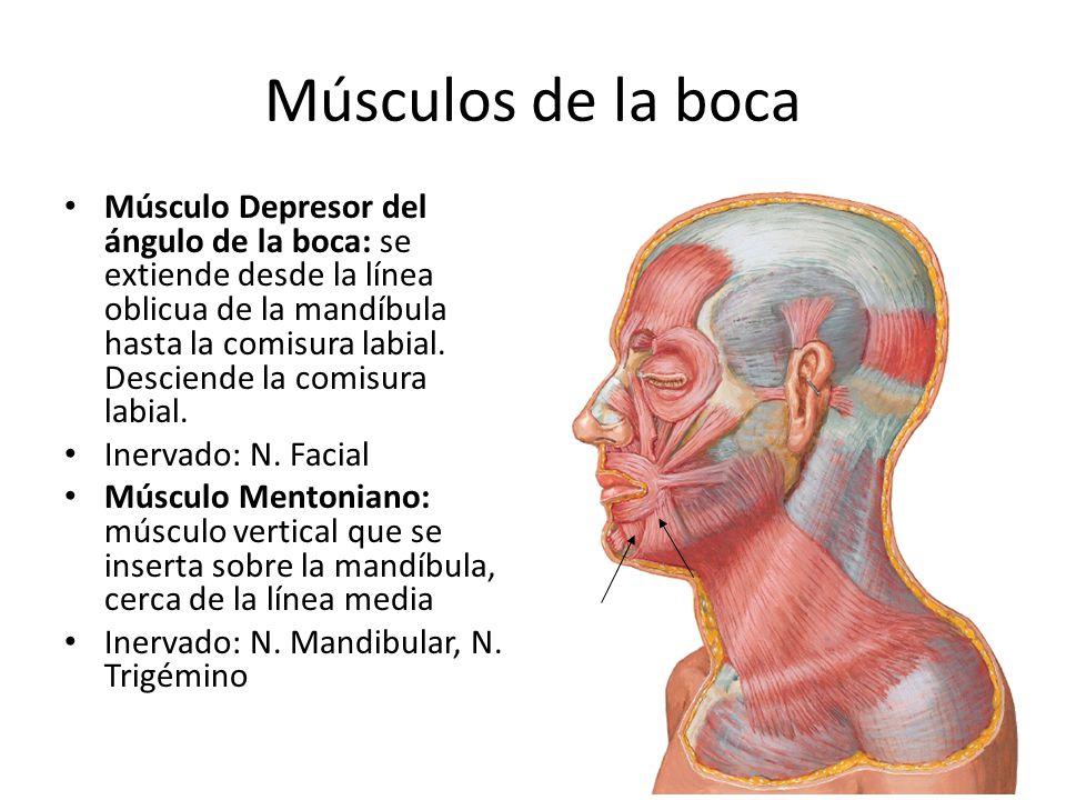 Músculos de la boca Músculo Depresor del ángulo de la boca: se extiende desde la línea oblicua de la mandíbula hasta la comisura labial. Desciende la
