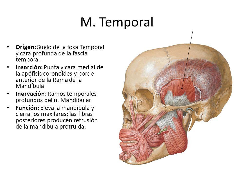 M. Temporal Origen: Suelo de la fosa Temporal y cara profunda de la fascia temporal. Inserción: Punta y cara medial de la apófisis coronoides y borde