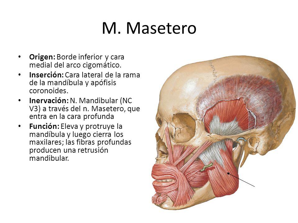 M. Masetero Origen: Borde inferior y cara medial del arco cigomático. Inserción: Cara lateral de la rama de la mandíbula y apófisis coronoides. Inerva