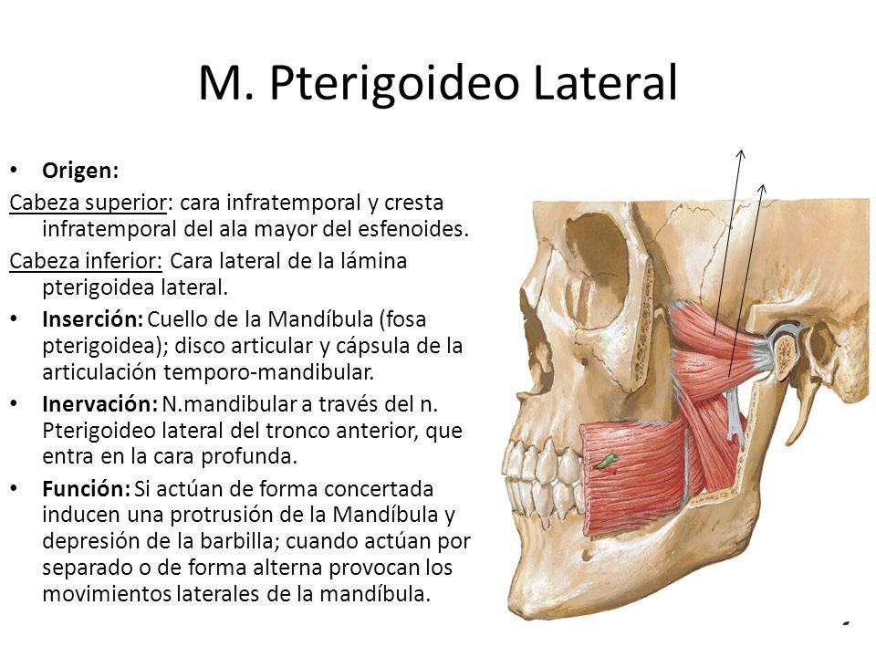 M. Pterigoideo Lateral Origen: Cabeza superior: cara infratemporal y cresta infratemporal del ala mayor del esfenoides. Cabeza inferior: Cara lateral