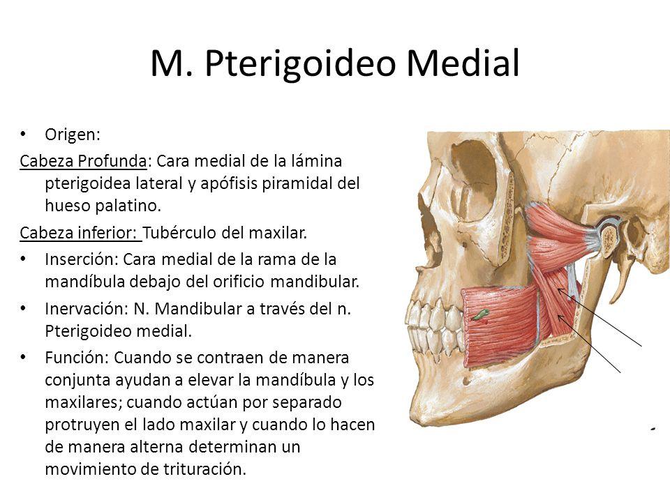 M. Pterigoideo Medial Origen: Cabeza Profunda: Cara medial de la lámina pterigoidea lateral y apófisis piramidal del hueso palatino. Cabeza inferior: