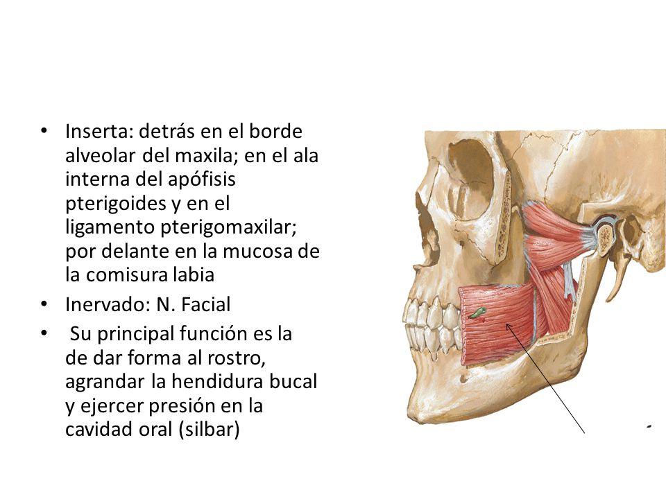 Inserta: detrás en el borde alveolar del maxila; en el ala interna del apófisis pterigoides y en el ligamento pterigomaxilar; por delante en la mucosa