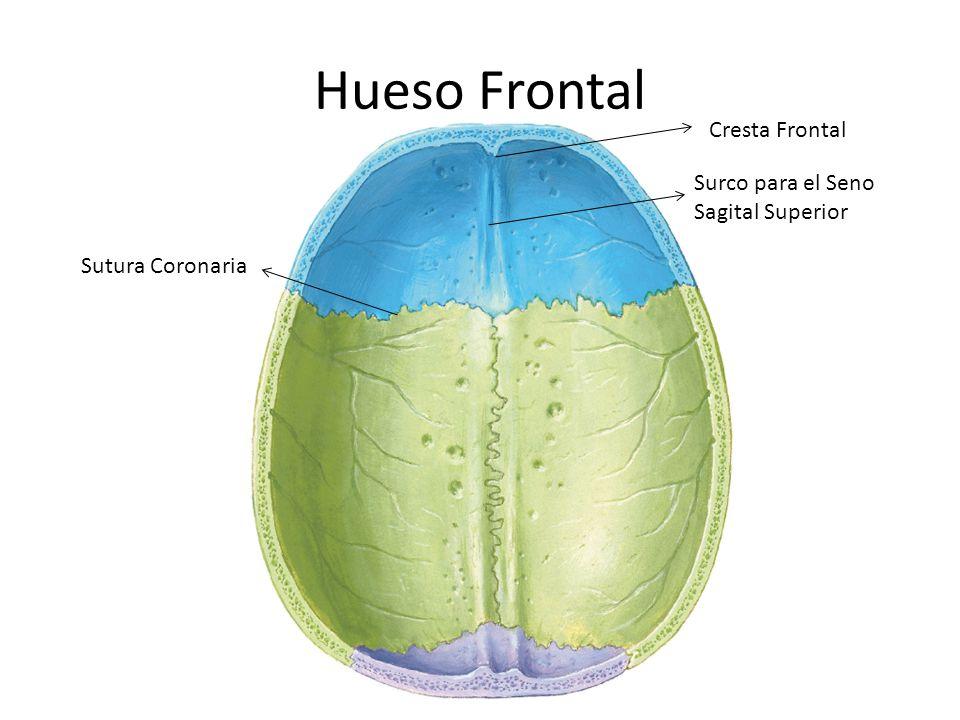 Hueso Frontal Cresta Frontal Surco para el Seno Sagital Superior Sutura Coronaria