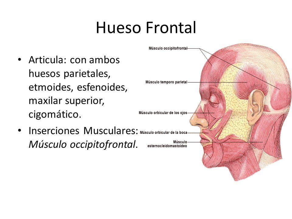 Hueso Frontal Articula: con ambos huesos parietales, etmoides, esfenoides, maxilar superior, cigomático. Inserciones Musculares: Músculo occipitofront