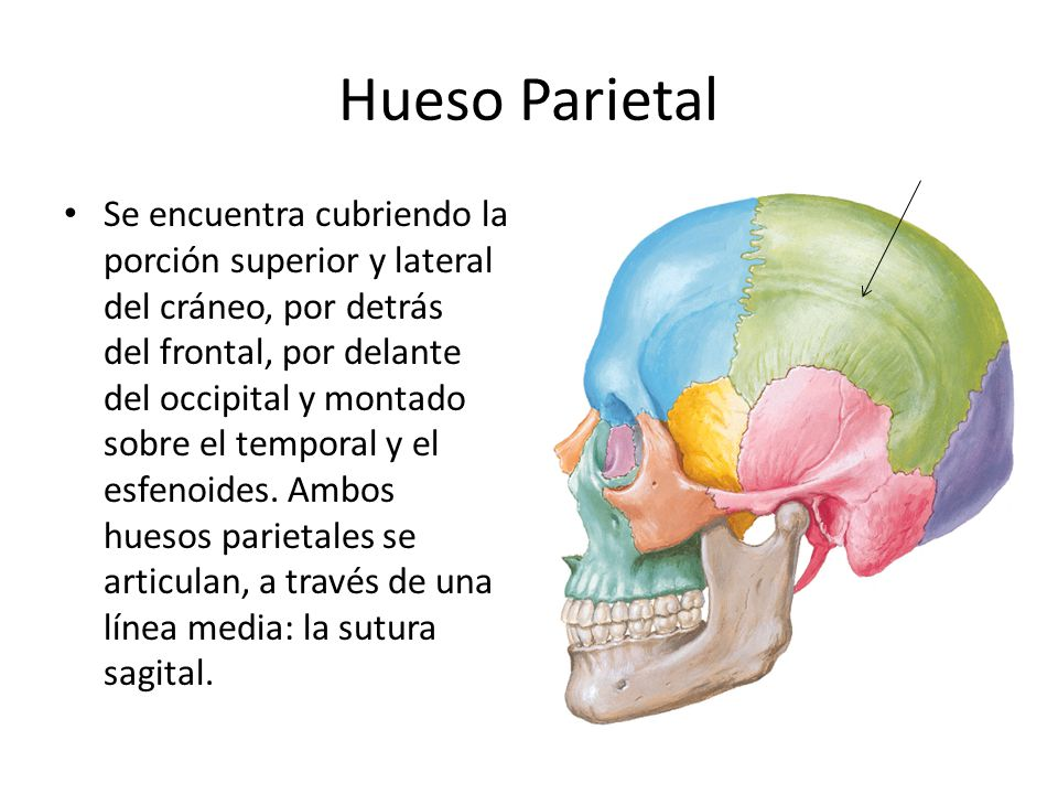 Hueso Parietal Se encuentra cubriendo la porción superior y lateral del cráneo, por detrás del frontal, por delante del occipital y montado sobre el t