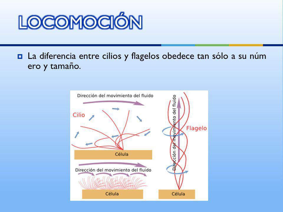La diferencia entre cilios y flagelos obedece tan sólo a su núm ero y tamaño.