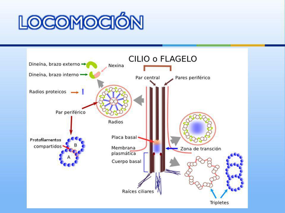 Ectoplasma se vuelve líquido y se convierte en endoplasma Amoeba http://valdeperrillos.com/book/export/html/2972 http://www.historyforkids.org/scienceforkids/biology/cells/digestion.htm