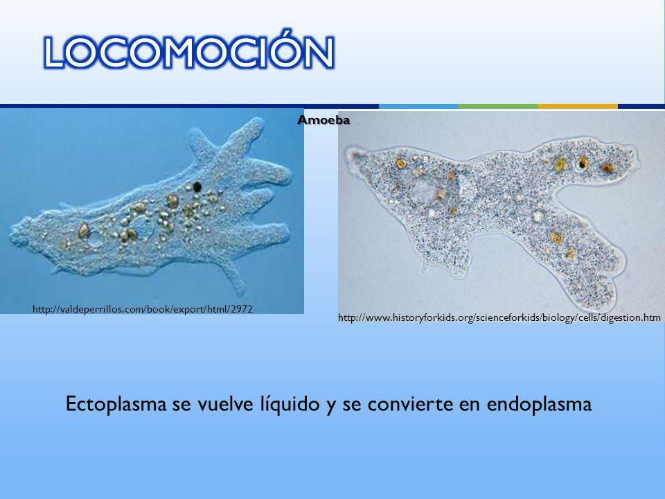 Ectoplasma se vuelve líquido y se convierte en endoplasma Amoeba http://valdeperrillos.com/book/export/html/2972 http://www.historyforkids.org/science
