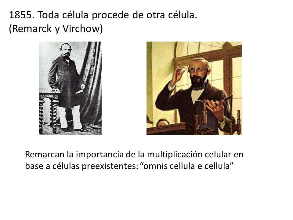 Remarcan la importancia de la multiplicación celular en base a células preexistentes: omnis cellula e cellula 1855. Toda célula procede de otra célula