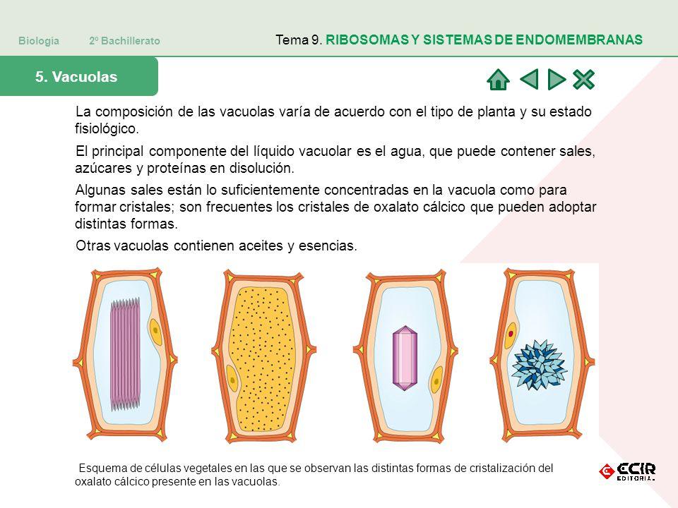 Biología 2º Bachillerato Tema 9. RIBOSOMAS Y SISTEMAS DE ENDOMEMBRANAS 5. Vacuolas La composición de las vacuolas varía de acuerdo con el tipo de plan