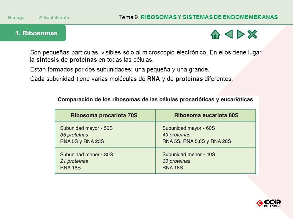 Biología 2º Bachillerato Tema 9. RIBOSOMAS Y SISTEMAS DE ENDOMEMBRANAS 1. Ribosomas Son pequeñas partículas, visibles sólo al microscopio electrónico.