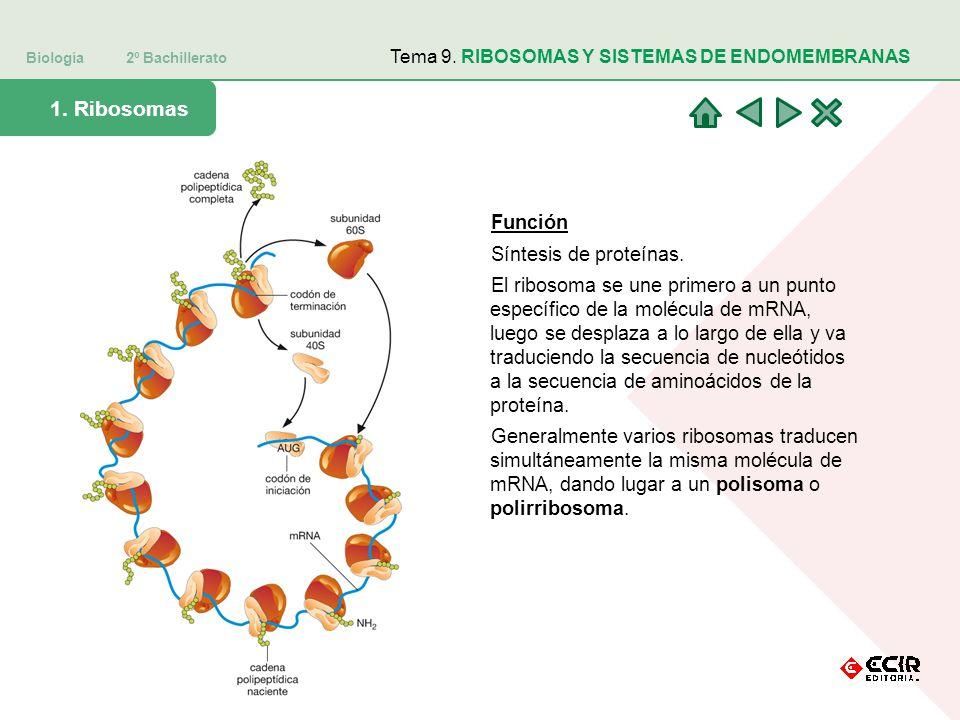 Biología 2º Bachillerato Tema 9. RIBOSOMAS Y SISTEMAS DE ENDOMEMBRANAS 1. Ribosomas Función Síntesis de proteínas. El ribosoma se une primero a un pun