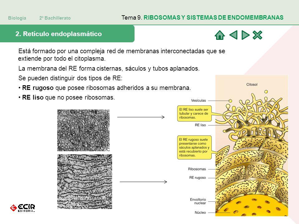 Biología 2º Bachillerato Tema 9. RIBOSOMAS Y SISTEMAS DE ENDOMEMBRANAS 2. Retículo endoplasmático Está formado por una compleja red de membranas inter