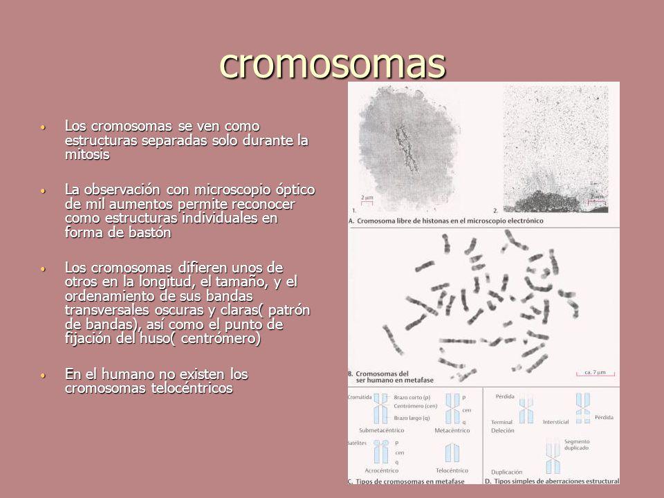 cromosomas Los cromosomas se ven como estructuras separadas solo durante la mitosis Los cromosomas se ven como estructuras separadas solo durante la m