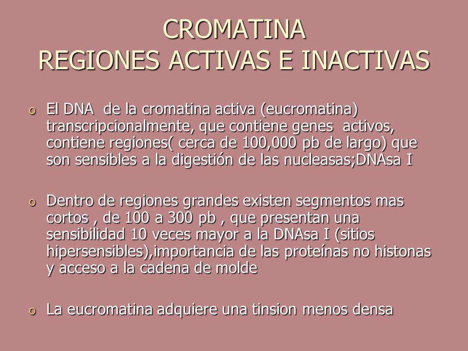 CROMATINA REGIONES ACTIVAS E INACTIVAS o El DNA de la cromatina activa (eucromatina) transcripcionalmente, que contiene genes activos, contiene region