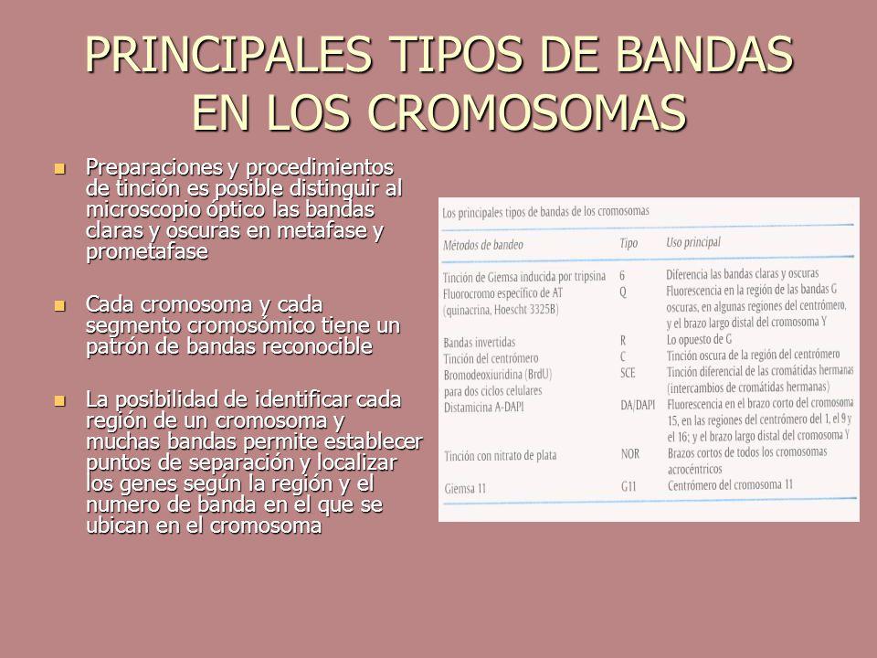 PRINCIPALES TIPOS DE BANDAS EN LOS CROMOSOMAS Preparaciones y procedimientos de tinción es posible distinguir al microscopio óptico las bandas claras
