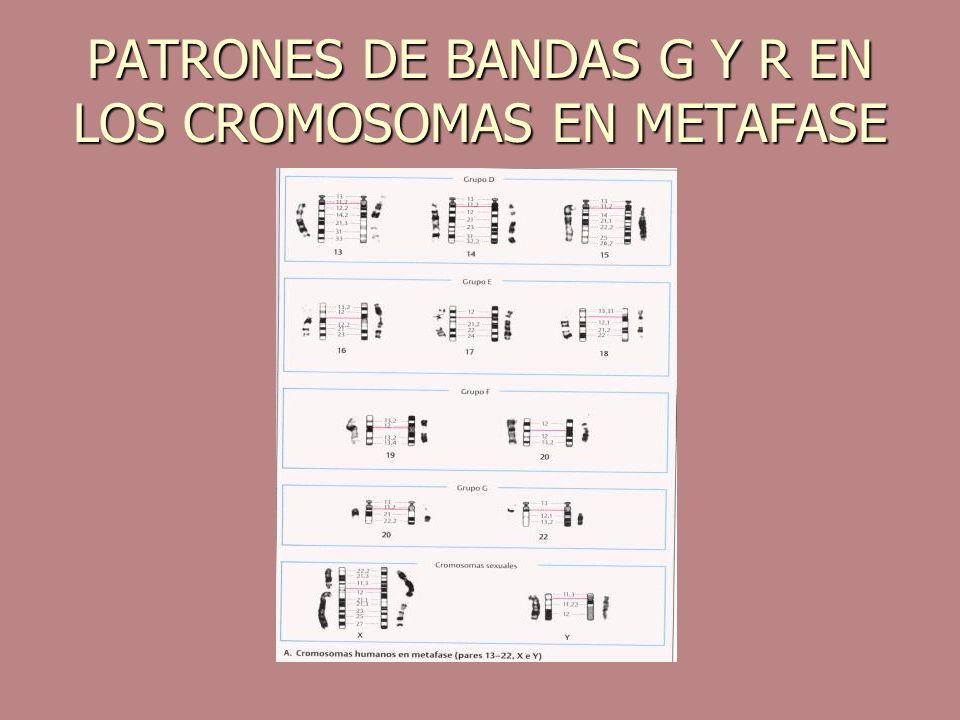 PATRONES DE BANDAS G Y R EN LOS CROMOSOMAS EN METAFASE