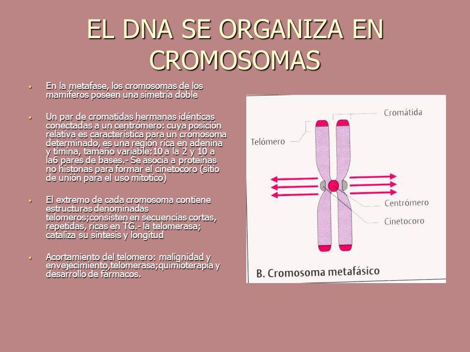 EL DNA SE ORGANIZA EN CROMOSOMAS En la metafase, los cromosomas de los mamíferos poseen una simetría doble En la metafase, los cromosomas de los mamíf