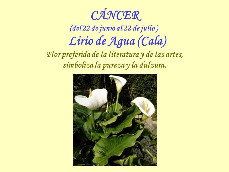 CÁNCER (del 22 de junio al 22 de julio ) Lirio de Agua (Cala) Flor preferida de la literatura y de las artes, simboliza la pureza y la dulzura.