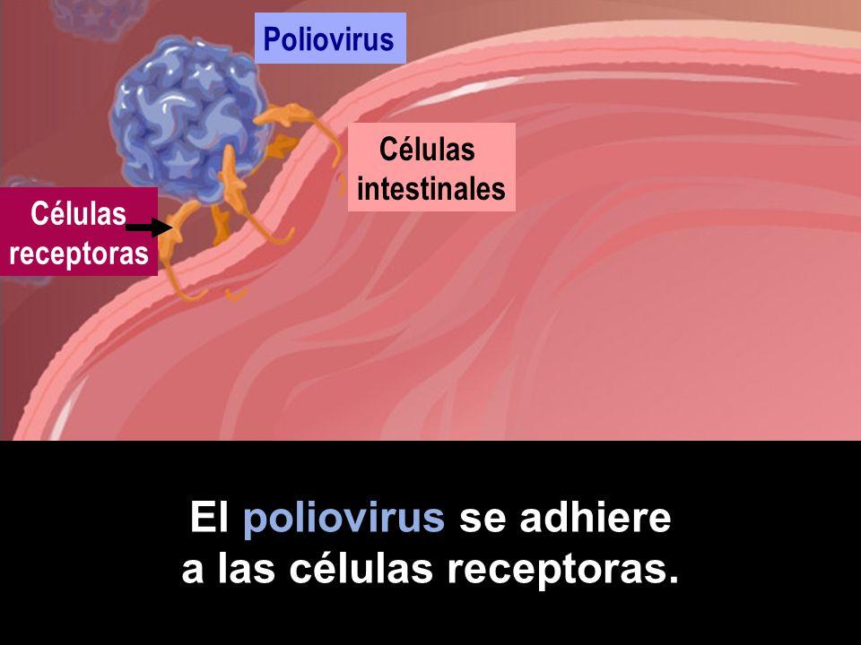 Si encuentra un receptor correcto, comienza la infección. Células intestinales Poliovirus