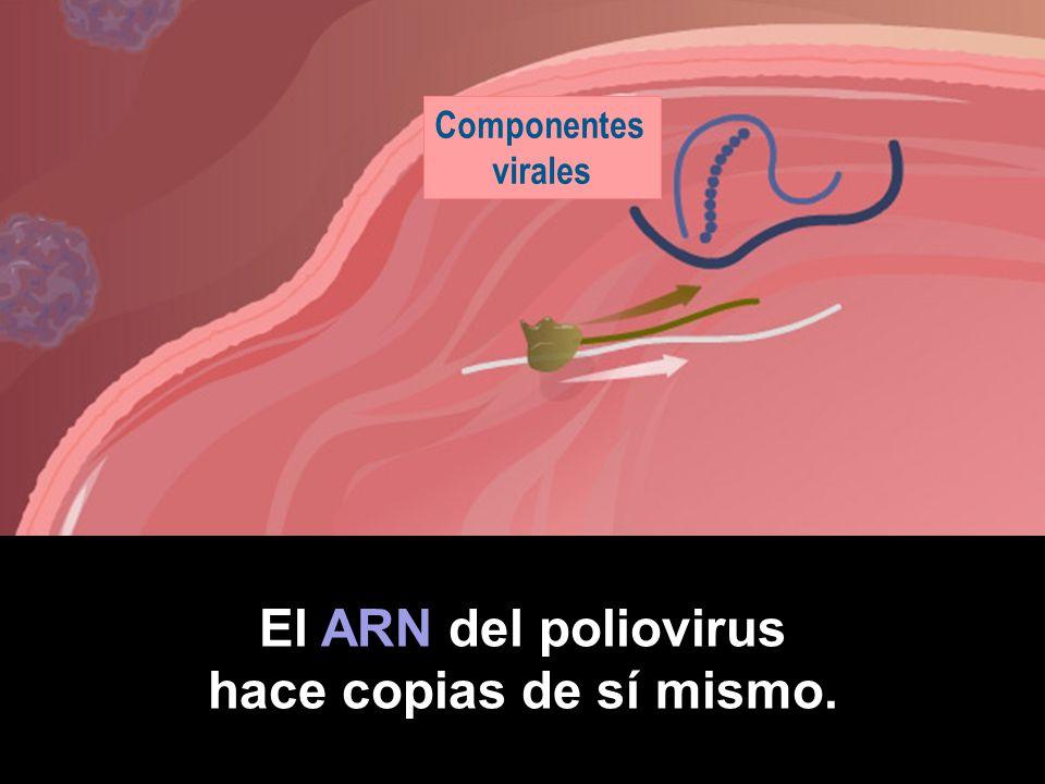 Células intestinales Poliovirus Células receptoras El poliovirus se adhiere a las células receptoras.