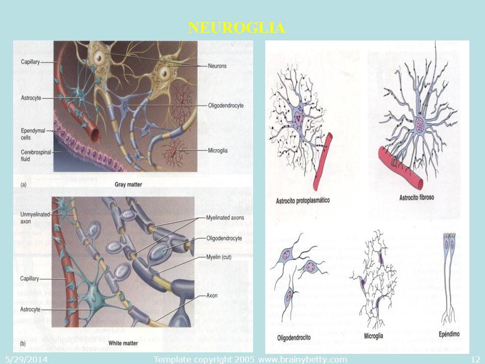 5/29/2014Template copyright 2005 www.brainybetty.com12 NEUROGLIA