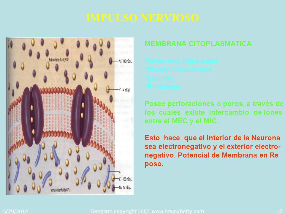 5/29/2014Template copyright 2005 www.brainybetty.com17 IMPULSO NERVIOSO MEMBRANA CITOPLASMATICA Posee una triple capa: *Mucopolisacaridos. *Lípidos. *