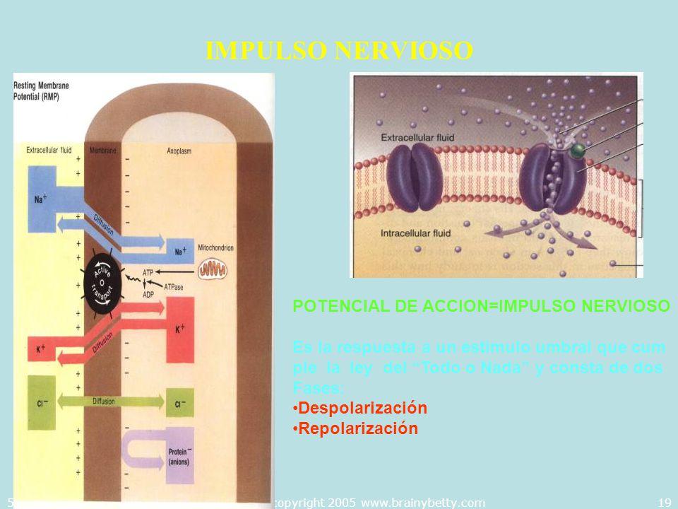 5/29/2014Template copyright 2005 www.brainybetty.com19 IMPULSO NERVIOSO POTENCIAL DE ACCION=IMPULSO NERVIOSO Es la respuesta a un estimulo umbral que