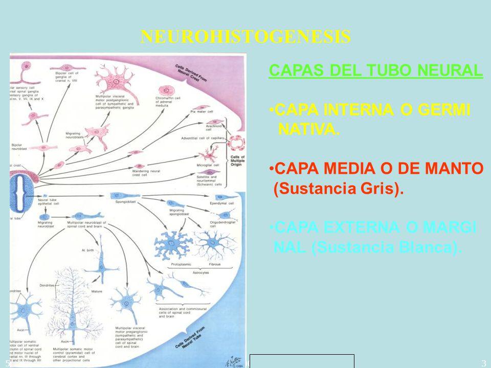 5/29/2014Template copyright 2005 www.brainybetty.com34 TIPOS DE RECEPTORES RECEPTORES SEROTONINERGICOS (5-HT) : Clasificados en: a)5-HT 1A, localizados presinapticamente en los Núcleos del Rafe (Inhibiendo la recaptación pre-sináptica de 5-HT, y post-sinópticamente en el Hipocampo, mo dulando la adenil-ciclasa.
